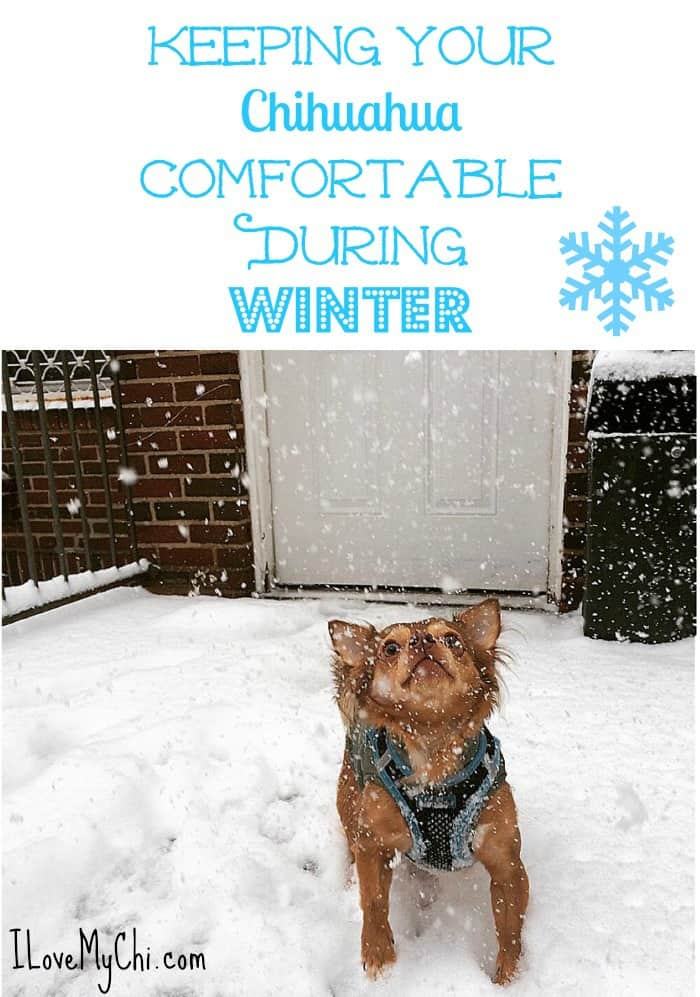 Keeping Your Chihuahua Comfortable During WInter
