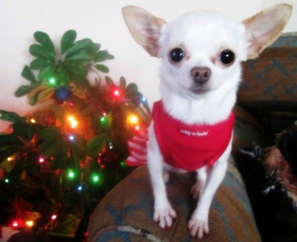 Ponyo the Chihuahua dog
