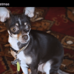 What A Chihuahua Thinks About Christmas