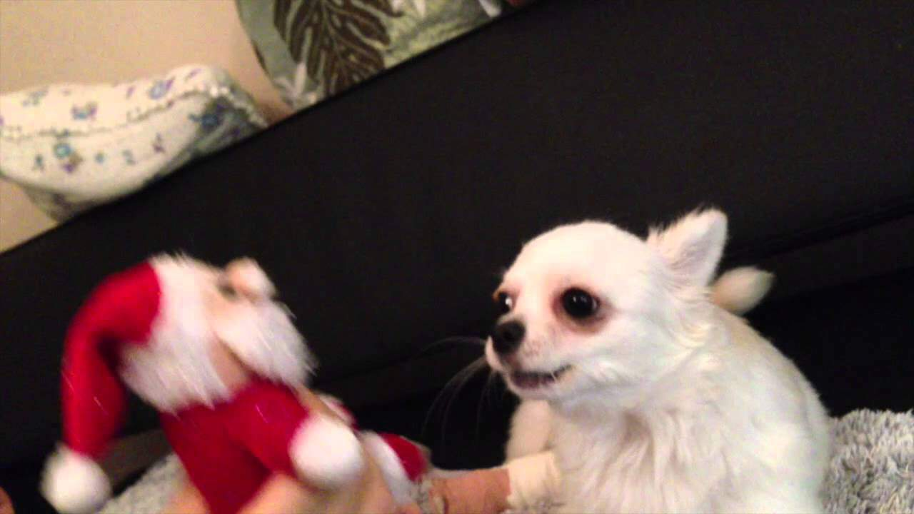 Chihuahua Sings A Christmas Song