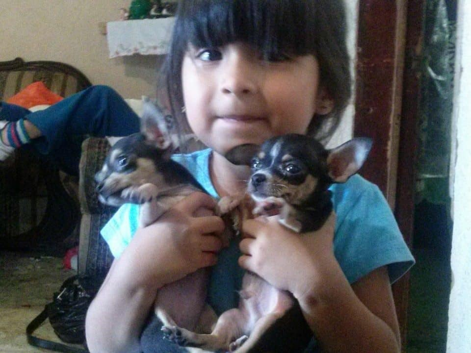 socialize your Chihuahua around kids