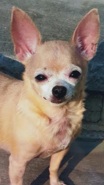 Falina the Chihuahua