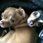 7 Key Tips for Socializing Your Chihuahua