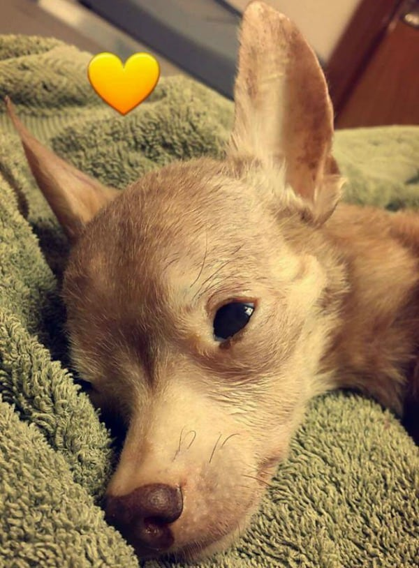 Tyler the Chihuahua