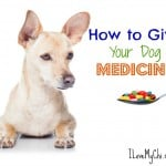 How to get your Chihuahua to Take their Medicine