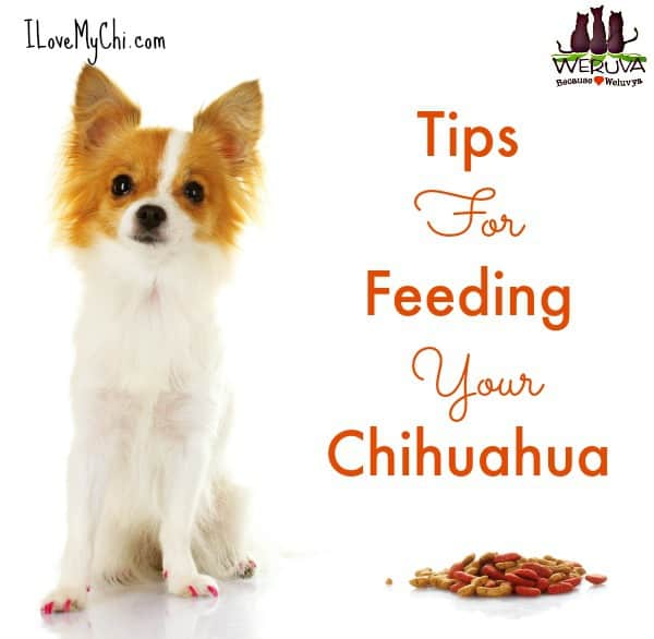 Weruva tips for feeding your Chihuahua