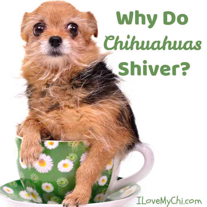 brown, tan and white long haired chihuahua sitting in coffee cup