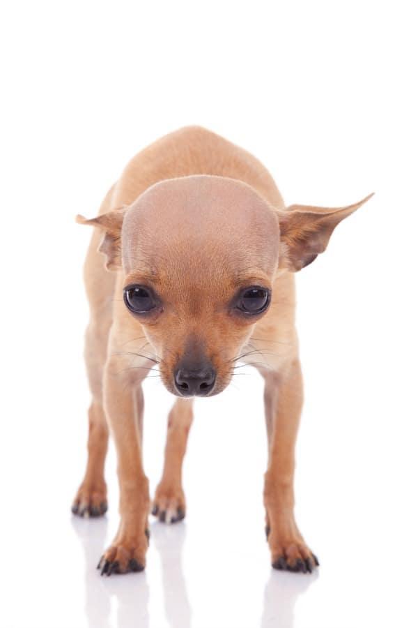 Shaking Chihuahua