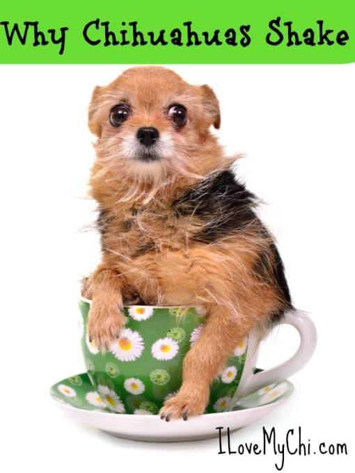 Why Do Chihuahuas Shiver?