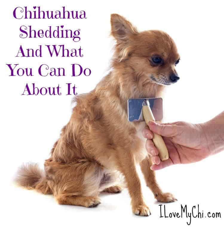 Chihuahua Shedding And What You Can Do About It