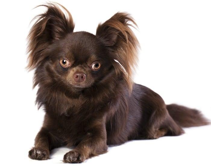 Chocolate Chihuahua