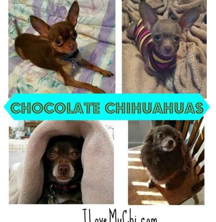 4 chocolate chihuahuas