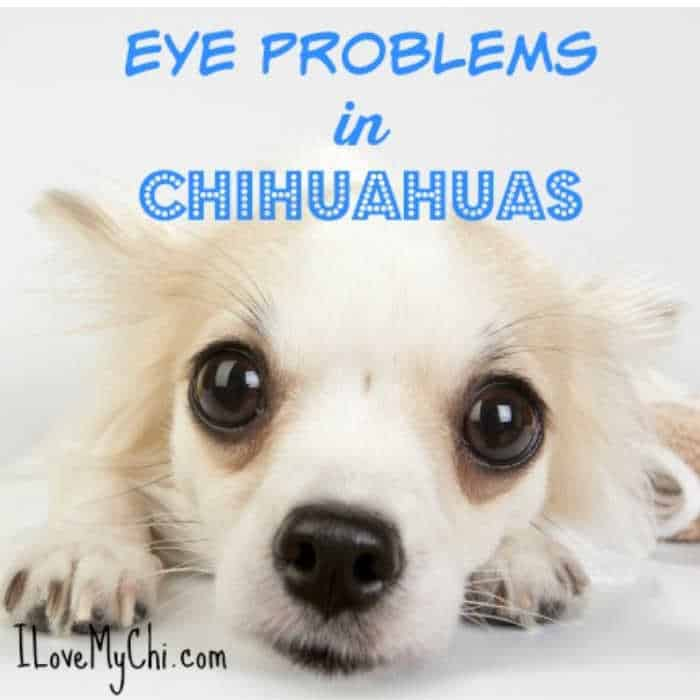 cream colored chihuahua dog face with large eyes