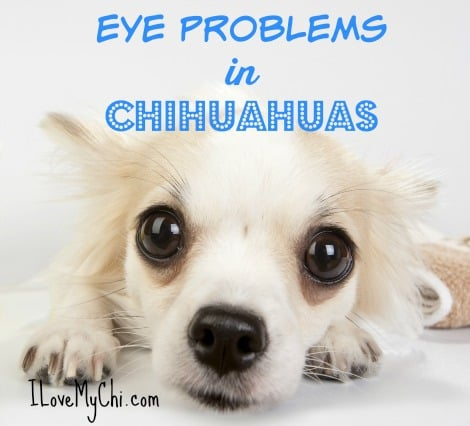 Eye Problems in Chihuahuas