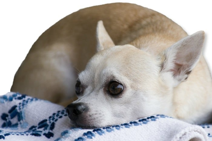 Grieving Chihuahua