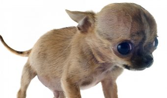 tiny fawn colored puppy with large head that has Hydrocephalus