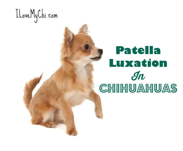 Patella Luxation In Chihuahuas