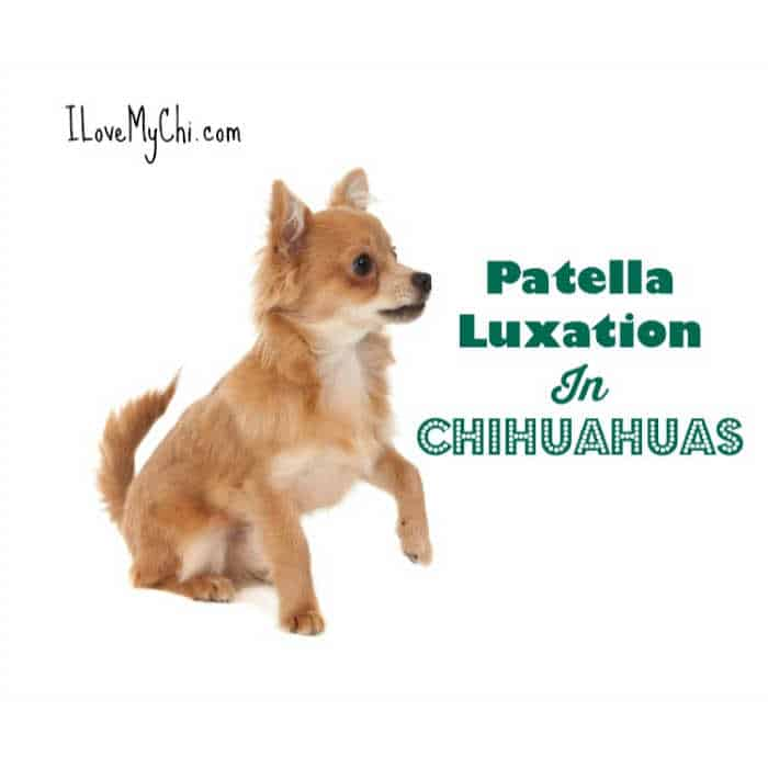 long hair fawn colored chihuahua dog with hurt leg