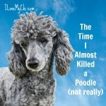 The Time I Almost Killed a Poodle (not really)