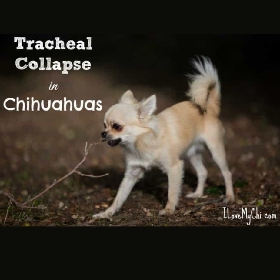 fawn chihuahua coughing