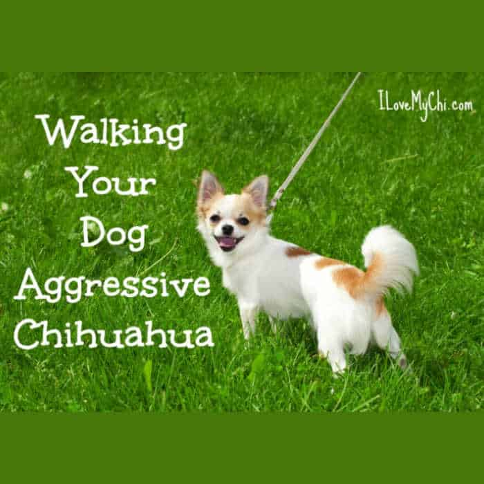 white and tan chihuahua being walked outside in grass