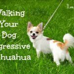 Walking Your Dog Aggressive Chihuahua