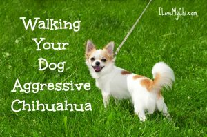 Walking your dog aggressive Chihuahua