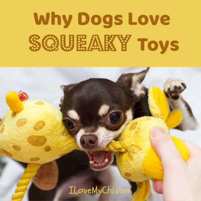 chihuahua with squeaky toy in mouth
