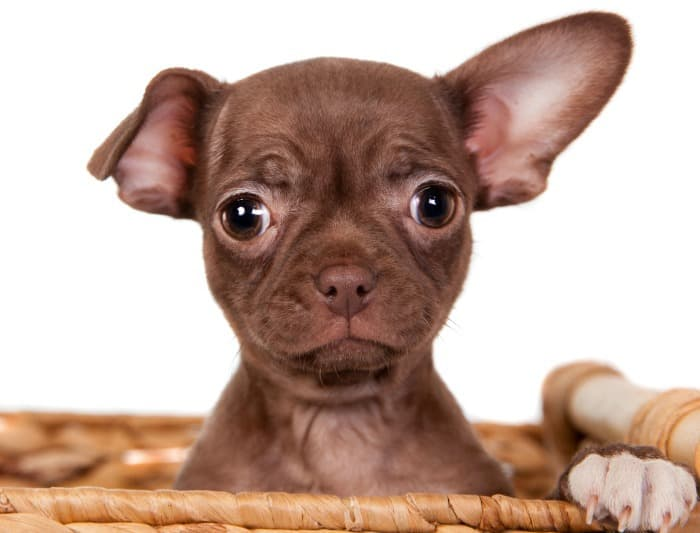 chocolate Chihuahua puppy