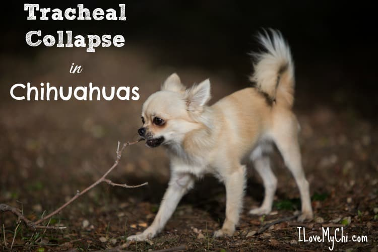 tracheal collapse in chihuahuas