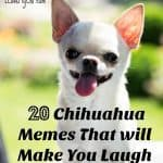 20 Chihuahua Memes that will make you laugh