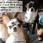 funny Chihuahuas