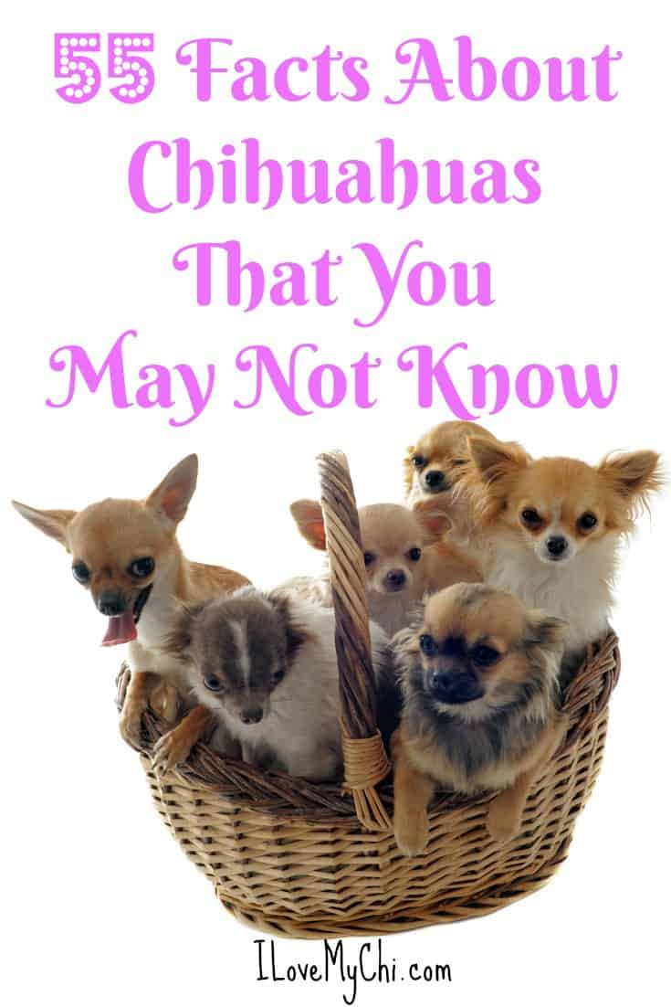 Think you know all 55 things about Chihuahuas?