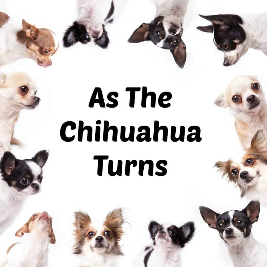 As the Chihuahua Turns
