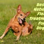Best Natural Flea Treatments for Dogs