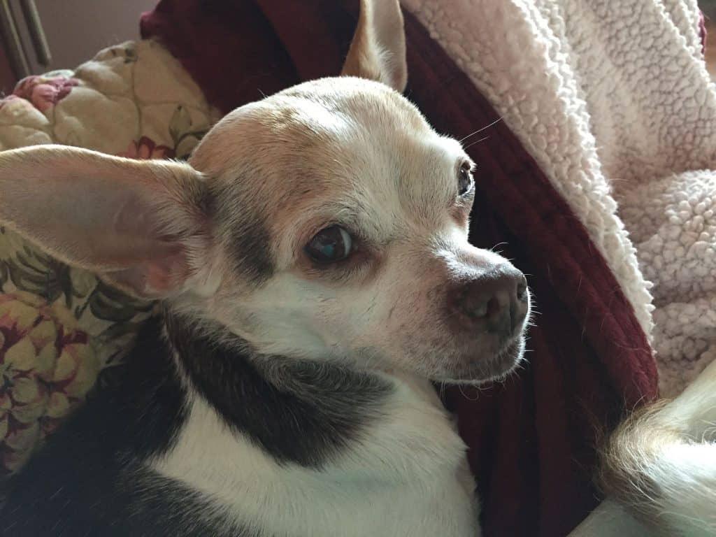 Betty the Chihuahua
