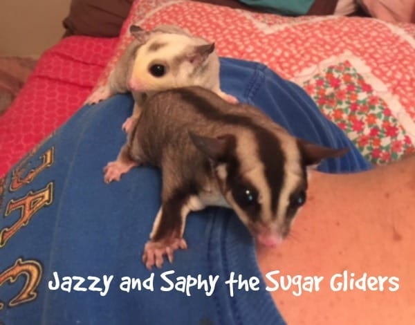 Jazzy and Saphy the sugar gliders