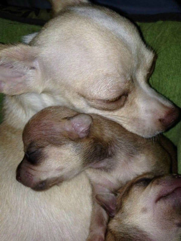 Mother Chi with puppy