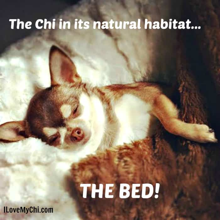 20 Chihuahua Memes That Will Make You Laugh I Love My Chi