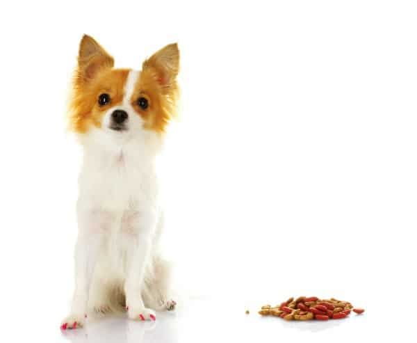 Chihuahua with food