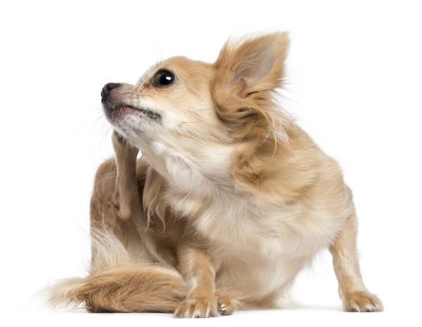 scratching Chihuahua