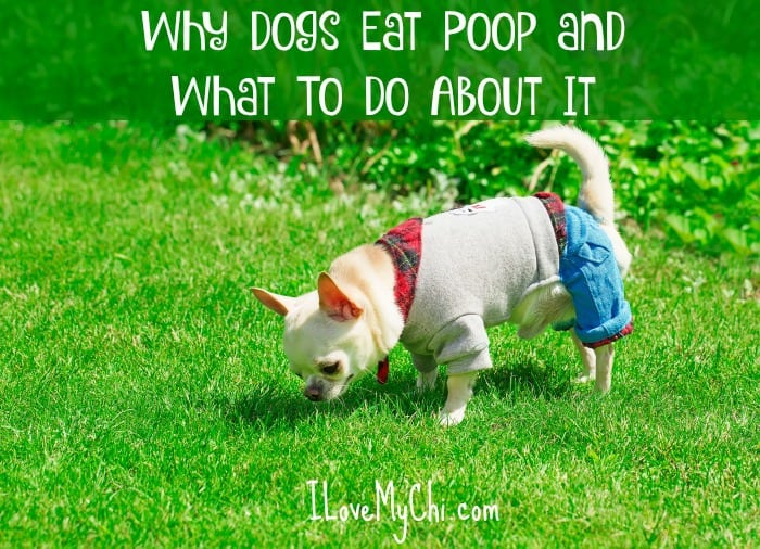 Why Dogs Eat Poop and What To Do About It