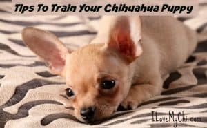 Tips To Train Your Chihuahua Puppy