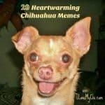 20 Heartwarming Chihuahua Memes