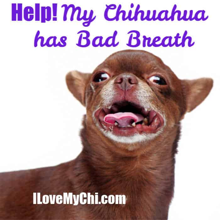 chocolate chihuahua with mouth open