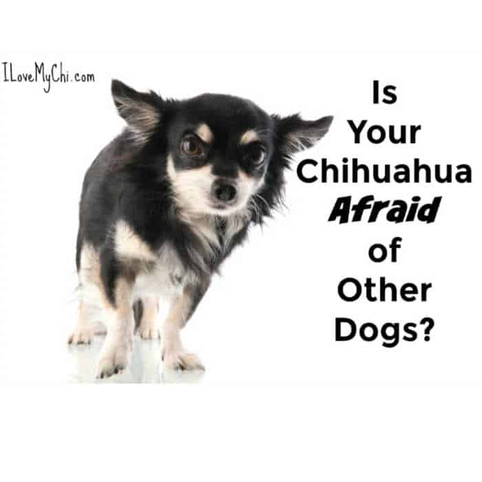 Frightened black and white chihuahua dog