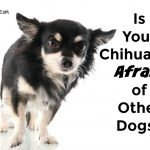Is Your Chihuahua Afraid of Other Dogs?