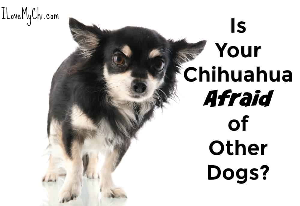 Is your Chihuahua afraid of other dogs