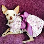 Joyce's Chi Story of Her Little Rescue Sprout