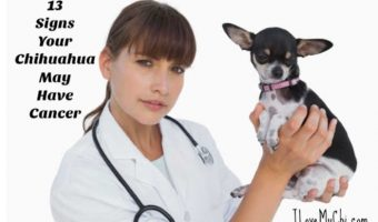 female veterinarian holding a chihuahua